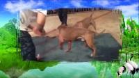 临沧哪里有比特犬养殖基地,比特犬幼犬多少钱一只