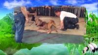 昭通哪里有比特犬养殖基地,比特犬幼犬多少钱一只