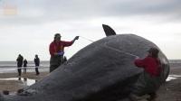 """实拍, 分解巨型鲸鱼 突然鲸鱼""""发飙""""了"""