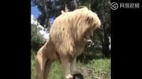 全世界最帅的狮子,这派头可以迷倒一群母狮~1