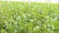 大棚越冬芹菜种植技能    绿菜花的莳植技能    大棚蔬菜精准施药技能
