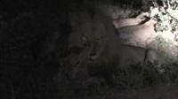 雄狮捕杀羚羊