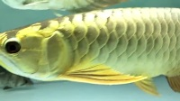 金龙鱼30公分左右40-50%金头过背 今日价E001*980元【金利龙渔业】