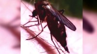 看这蚊子到底, 能吸多少血!