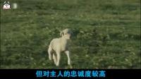 柏林墙倒了, 7000只边境巡逻犬变身家庭宠物犬——高加索牧羊犬
