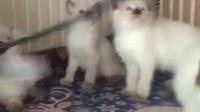 宠物猫的品种及图片★淘宝店铺搜:双飞猫