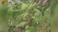 实用技术《枣树病虫害防治技术》视频