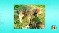 混血猎狼大战战凶悍高加索犬, 藏獒被秒杀!