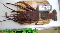 超巨大龙虾寄生虫∵