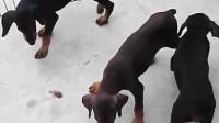 北京附近哪有卖杜宾犬的