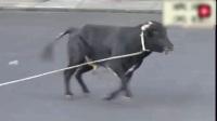 国外的斗牛,看着都疼,太危险了_3