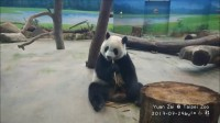 2017-07-29 直撥圓仔吃竹筍 The Giant Panda Yuan Zai