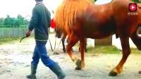 马夫妻温馨场景,国外被人当牛拉力的马,身材魁梧!