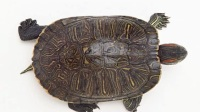 故事:他放了一只流小的乌龟,乌龟救他全家性命