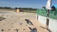 甘肃武威明珠国际赛鸽公棚秋棚饲养管理日常