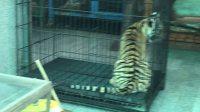 泰国猴子老虎