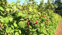 加拿大树莓视频