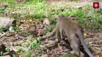 都是生完猴宝宝没多久的猴妈妈, 为什么它们看着别人家的孩子要好