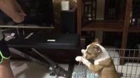 来福和欧蒂的公五发狗前细小犬瘟测试