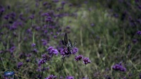 蝴蝶·紫色·朋友-苏宁视野