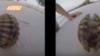 在海边发现一个诡异贝壳,正想打开时里面跑出的生物让网友惊讶!