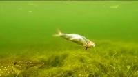 实拍水下的惊人一幕 小伙在鱼肚子里放入一根震动棒 结果看傻了另一条鱼