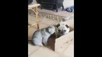 幽默搞笑猫咪视频第七百七十一期