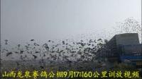 山西龙泉赛鸽公棚9月17日60公里训放视频