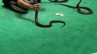 三只蛇玩的溜溜
