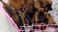 哪里有卖马犬的最新马犬价格老兵犬舍正规马犬养殖基地加微送训犬视频