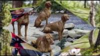 八种最适合和你一起徒步的狗狗,第六种最常见