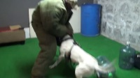Dogo Argentino -Achillies- Protection training!