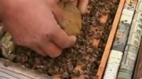 特种蜜蜂饲养教程蜜蜂养殖全集蜜蜂养殖技术宝典视频