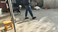 熊猫TV萌宠:霹雳啪啦啪2017年12月10号下午黑漆漆一周岁了!蹦蹦现在好大只哈!