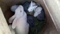 小兔子乖乖,小兔子乖
