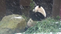Giant panda Xing Ya in the snow