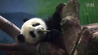 2014-04-19 圓仔吃劍竹筍萌翻!The Giant Panda Yuan-Zai (360p