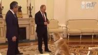 普京带狗见日本人,普京带秋田犬见日本记者,采访前先逗狗