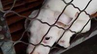 杜高犬图片杜高犬价格杜高犬打猎视频15963711627老兵犬舍杜高犬多少钱一只