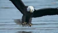 鱼的天敌——老鹰是怎样抓鱼的? 【大白菜育儿】