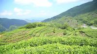 福安坦洋工夫红茶-纪录片