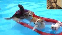 12只柯基犬水池里游泳