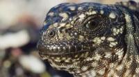 [地球脉动2]游蛇猎捕海鬣蜥超震撼镜头