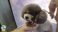 宠物美容视频 萌系泰迪装修剪精华
