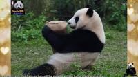 20170129 大年初二圓仔與抱枕的相遇記 The Giant Panda Yuan Zai