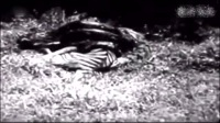 龙虎斗 蟒蛇大战老虎这么老的资料片儿真的很难找到了值得一看