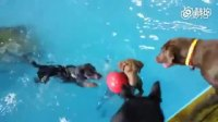 狗子下了游泳池之后……